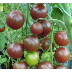 Körsbärstomat - Black Cherry
