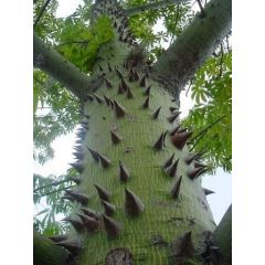 Kapokträd