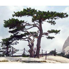 Chinese Red Pine