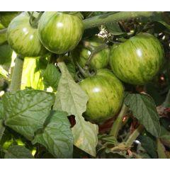 Grön Tomat - Green Zebra