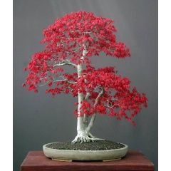 Japansk Röd Lönn (Blodlönn)