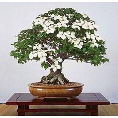 Asiatisk Blomsterkornell